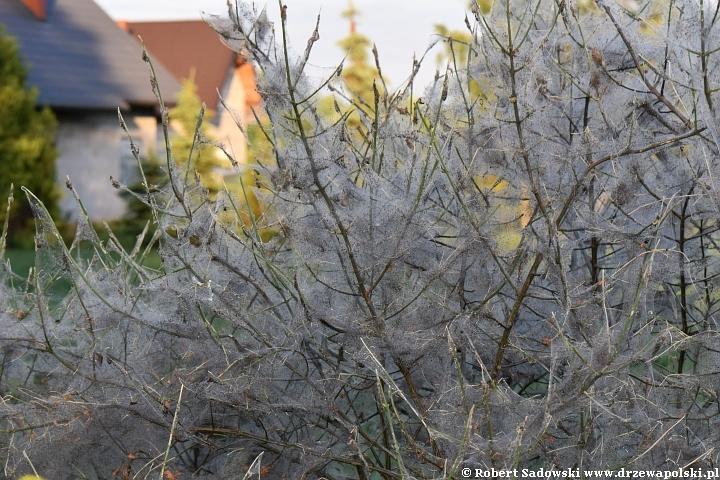 trzmielina pospolita - atak szkodników