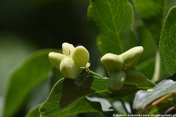 trzmielina pospolita - zielone owoce