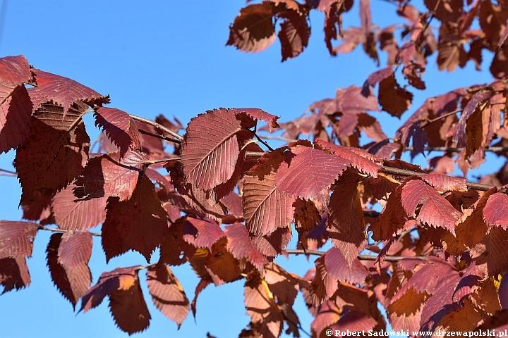 Wiąz szypułkowy jesienią