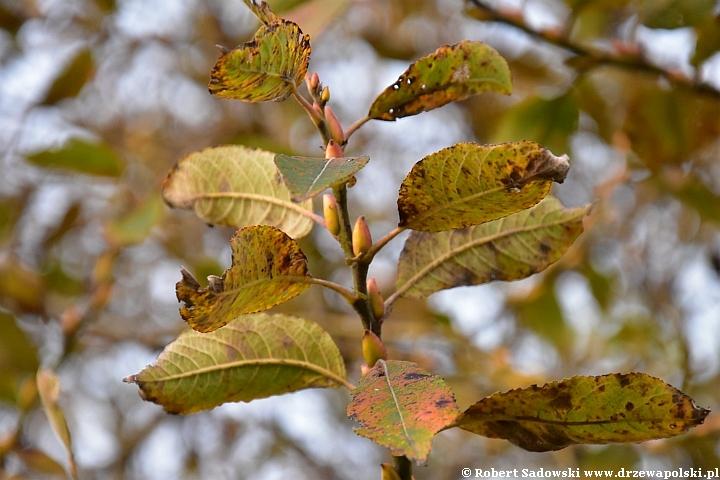 Wierzba iwa jesienią