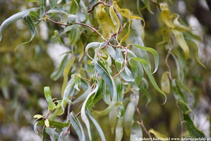 Wierzba mandżurska jesienią